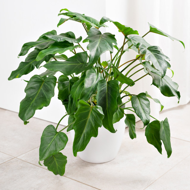 Pokojovky Brno Philodendron